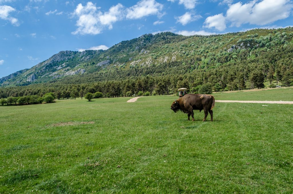Bisons d'Europe de la réserve des monts d'azur.