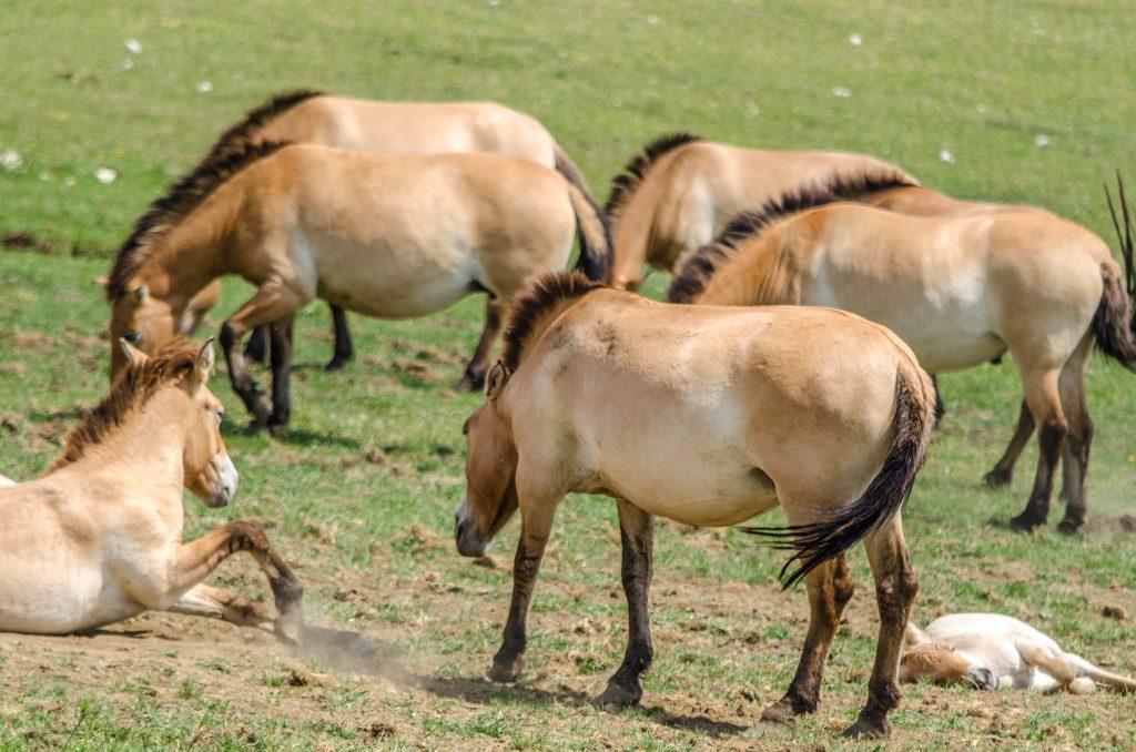 Chevaux de Przewalski de la réserve des monts d'azur