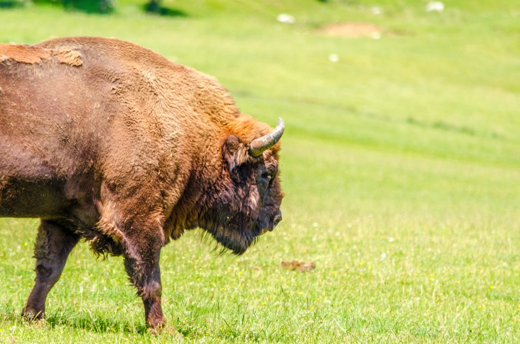 Imposant Bisons d'Europe de la réserve des monts d'azur