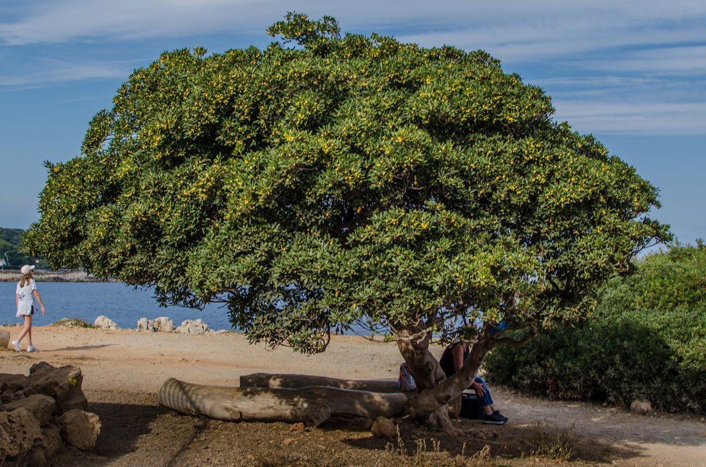 Un arbre du Cap d'Antibes