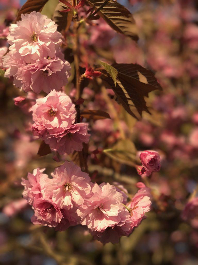 Iphone vs Reflex photo de fleurs
